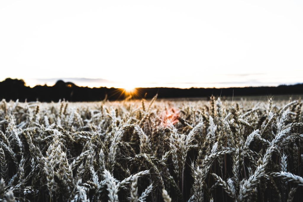 blé champs